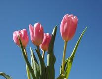 Цветок тюльпанов Стоковая Фотография RF