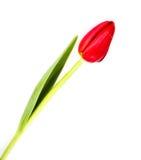 Цветок тюльпан на белой предпосылке Стоковое фото RF