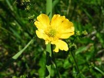 Цветок луга bulbosus лютика общий Стоковое Изображение
