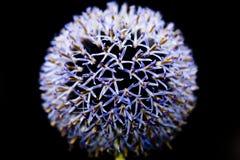 Цветок лука Стоковые Фото