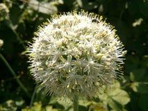 Цветок лука Стоковые Изображения RF