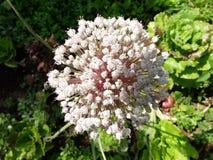 Цветок лука Стоковая Фотография RF