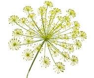 цветок укропа Стоковые Изображения RF