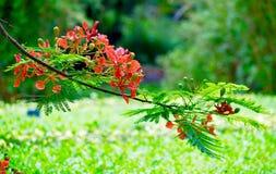 Цветок Феникса Стоковые Фото