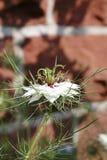 Цветок фенхеля, старая дева в зеленом цвете, damascena Nigella Стоковое Изображение RF