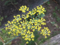 Цветок фенхеля Стоковое Фото