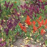 Цветок ` ферзя Виктории ` cardinalis лобелии Стоковые Фотографии RF
