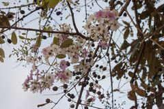 Цветок ферзя, crape ферзя мирт или macrocarpa Lagerstroemia стена на предпосылке неба стоковые фотографии rf