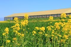 Цветок фермы и рапса Стоковые Фото