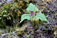 Цветок 01 фиолетового Trillium Стоковое Изображение RF