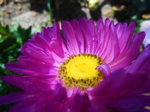 Цветок фиолетовой астры стоковое фото rf