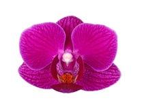 Цветок фиолетовой изолированной орхидеи фаленопсиса Стоковое Изображение RF