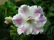 Цветок, фиолет цветков, африканские фиолеты стоковые фотографии rf