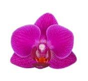 Цветок фиолетовой изолированной орхидеи фаленопсиса Стоковые Изображения RF