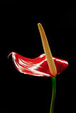 цветок фламингоа антуриума Стоковое Изображение