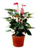 цветок фламингоа антуриума Стоковая Фотография RF