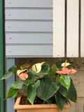 Цветок фламингоа или цветок мальчика Стоковое Изображение