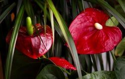 Цветок фламинго между листьями дерева дракона Стоковые Изображения