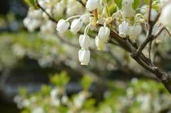 Цветок фонарика Стоковая Фотография
