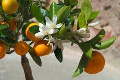 Цветок фруктового дерев дерева Стоковая Фотография RF