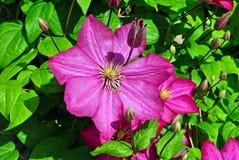 Цветок флокса. Стоковая Фотография RF