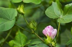 цветок хлопка Стоковые Изображения
