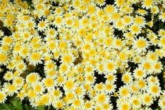 Цветок хризантемы в предпосылке сада Стоковая Фотография