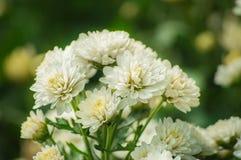 Цветок хризантемы зацветает в саде Стоковые Фотографии RF