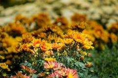 Цветок хризантемы зацветает в саде Стоковые Изображения