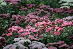Цветок хризантемы зацветает в саде Стоковое Изображение RF