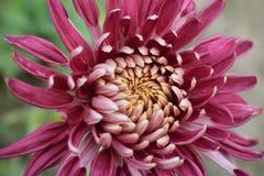 Цветок хризантемы моего сада Стоковые Изображения