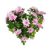 Цветок хризантемы на белой предпосылке Стоковая Фотография