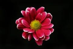 Цветок хризантемы против черноты стоковая фотография rf