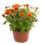 цветок хризантемы цветет potted Стоковое фото RF