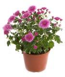 цветок хризантемы цветет potted Стоковая Фотография