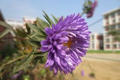 Цветок хризантемы Стоковое Изображение