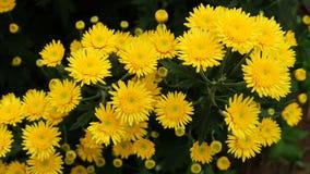 Цветок хризантемы Стоковые Изображения