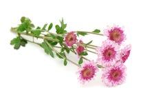 цветок хризантем Стоковая Фотография