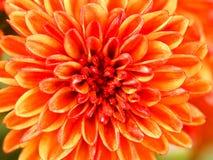 Цветок хризантем Стоковое Фото
