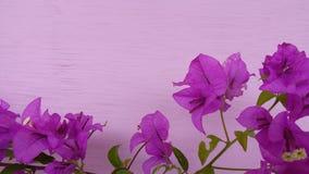 Цветок цвета бугинвилии красивый sightly стоковые фото