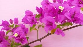 Цветок цвета бугинвилии красивый sightly стоковое изображение