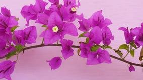 Цветок цвета бугинвилии красивый sightly стоковые изображения