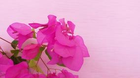 Цветок цвета бугинвилии красивый sightly стоковые фотографии rf