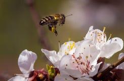 цветок цветения белый с пчелой в саде Стоковые Изображения