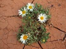 Цветок цветения в пустыне Стоковое Изображение RF