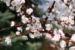 Цветок цветения дерева абрикоса Стоковая Фотография