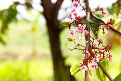 Цветок цветения крошечный розовый, ветвь фруктового дерев дерева звезды с цветением fl Стоковое фото RF