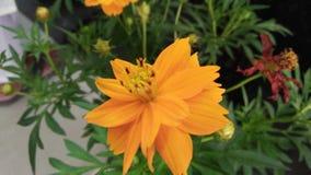 Цветок цветеня Стоковое Фото