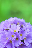цветок цветеня Стоковые Фото