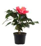цветок цветет красный цвет hibiscus potted Стоковое Изображение RF